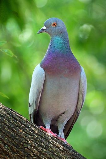 Posing Pigeon 54124