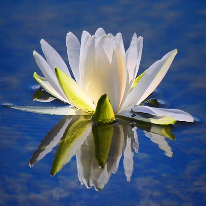 Backlit Water Lily 54181