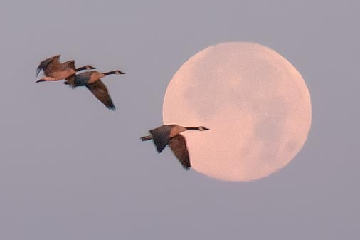 Geese Flying By Setting Moon 20100726