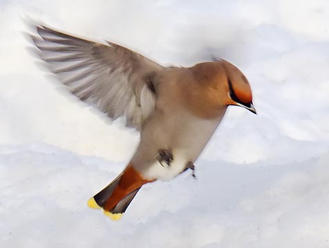Waxwing On The Wing 20110124