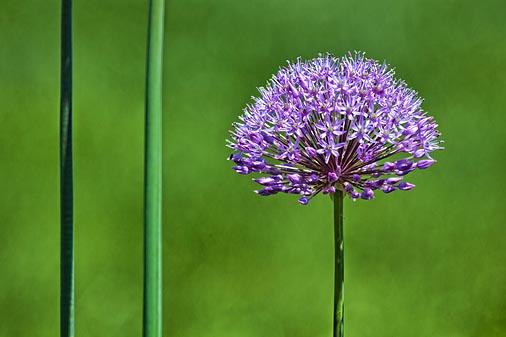 Purple Flower 25405