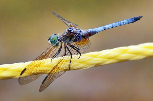 Dragonfly On A Rope 13175