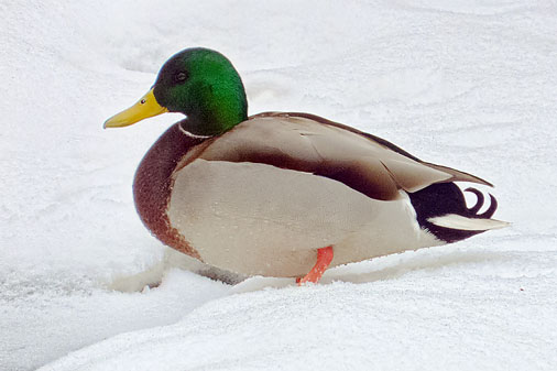 Duck In Snow 20120201