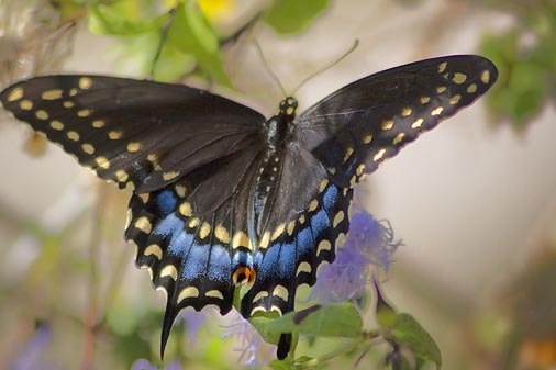 Black Butterfly 46455