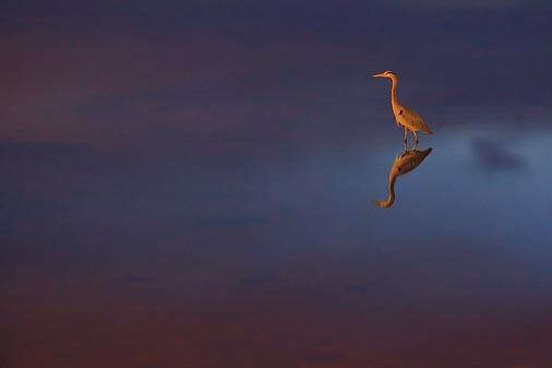 Red Heron 20070109