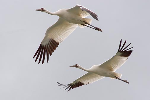 Whooping Cranes In Flight 20070208