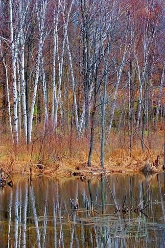Birch Reflections 59686