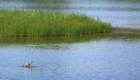 Ottawa Heron 61313