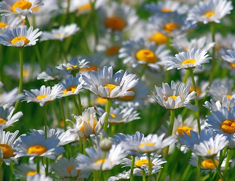 Bed Of Daisies 20070624