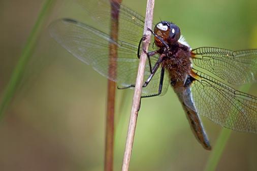 Dragonfly 20070703