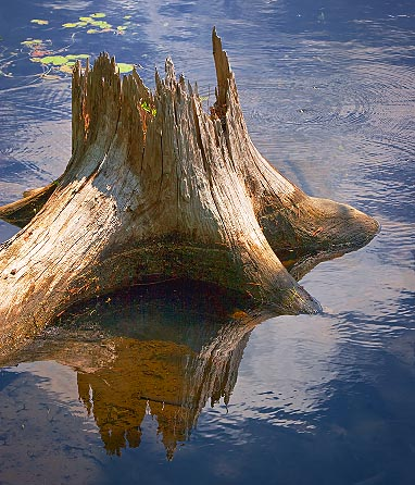 River Stump 62241