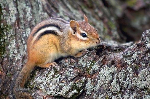 Chipmunk In A Tree Notch 62363