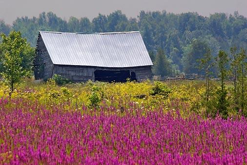 Barn & Purple Loosestrife 20070803