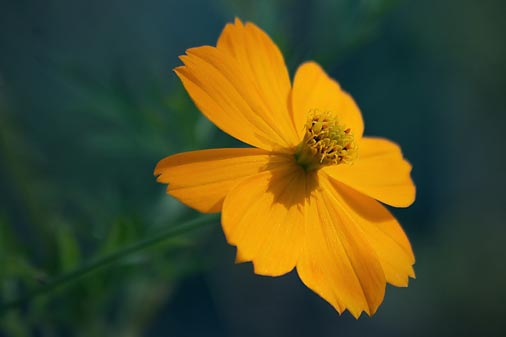 Mexican Gold Poppy 76665