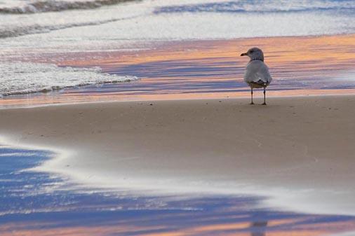 Gull At Sunset 69550-Crop1