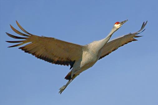 Sandhill Crane In Flight 73145