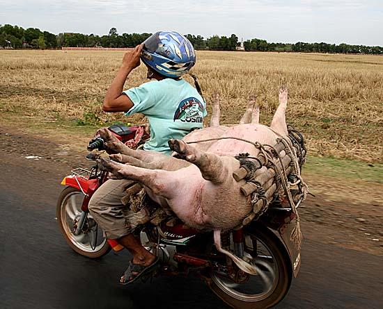 Transport of living pigs.