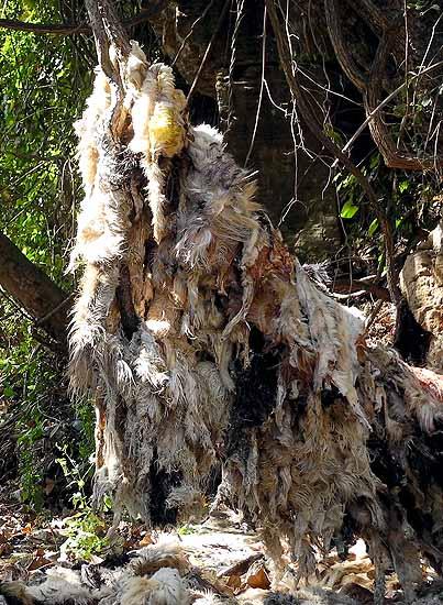 Skins of goats and sheep that have been sacrificed at the sacred catfish shrine at Dafra, Burkina Faso.