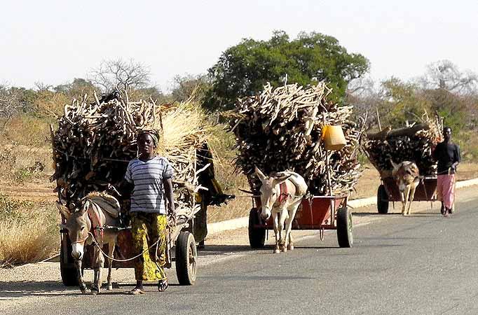 Donkey carts carrying firewood, Burkina Faso