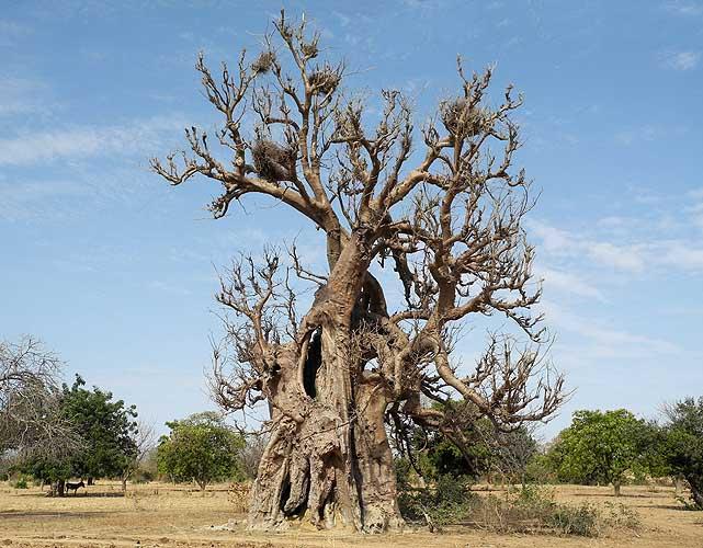 Old Baobab near Manega, Burkina Faso