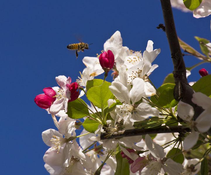 Apple Pollinator