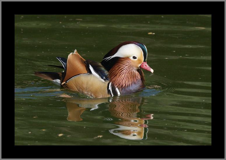 Mandarin Duck #10