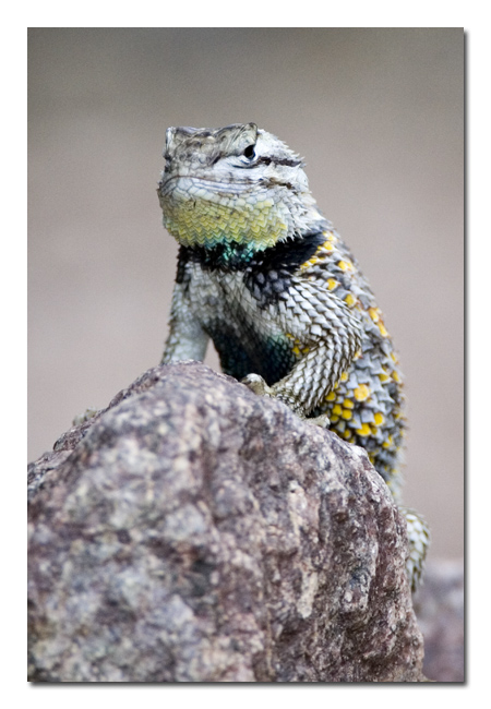 Spiny Lizard 10.jpg