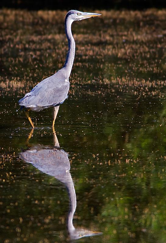 Gråhäger Ardea cinerea Grey Heron