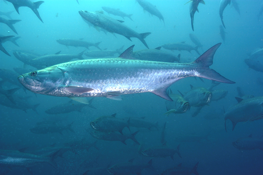 School of 5 to 6 foot long Tarpon