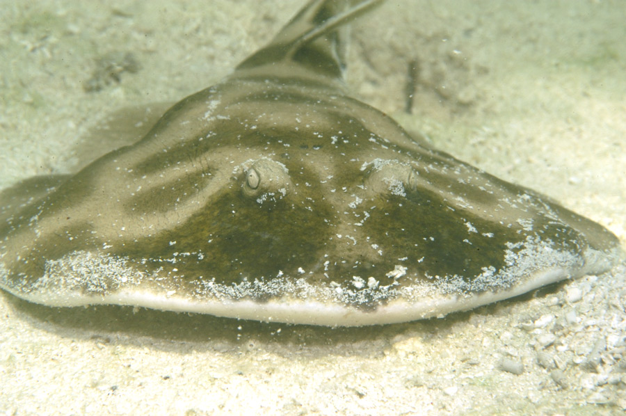 Lessor Electric Ray