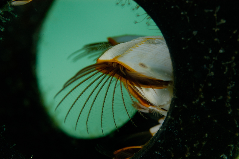 Smooth Goose Neck Barnacle