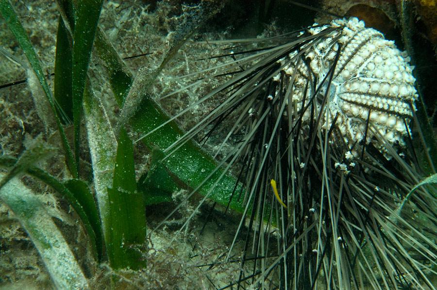 Dead Sea Urchin