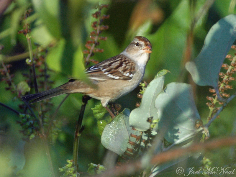 juv. White-crowned Sparrow eating <i>Perilla</i> nutlets