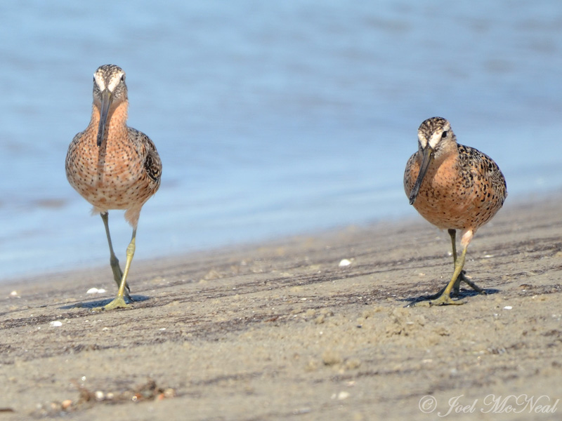 Short-billed Dowitchers: St. Catherines Island- Liberty Co., GA