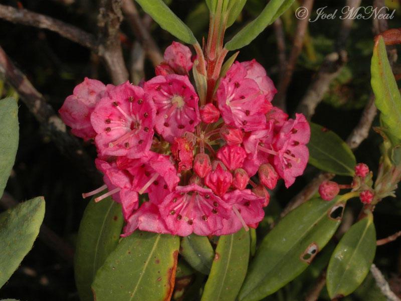 Sheep Laurel: <i>Kalmia angustifolia</i>