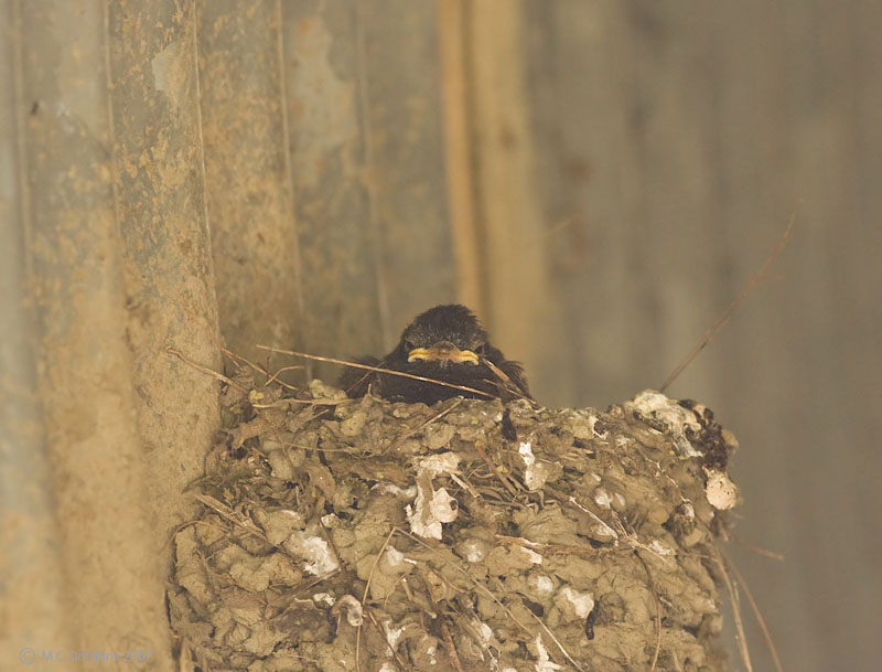 Phoebe chick in nest