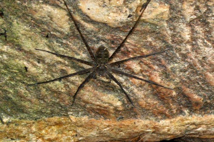 river spider