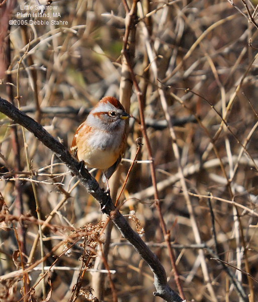 Sparrow In The Bushes