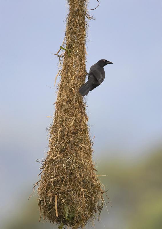Giant-Cowbird.jpg