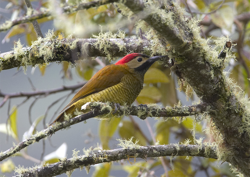 Golden-Olive-Woodpecker.jpg