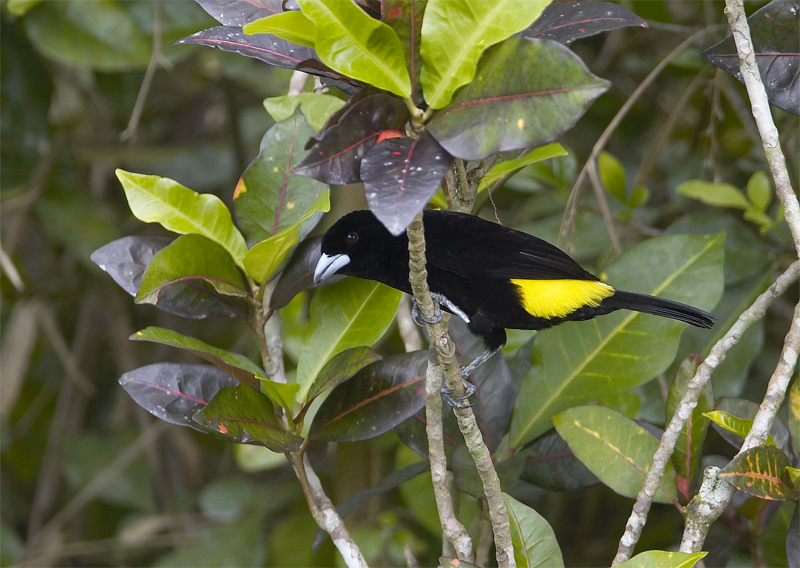 Lemon-rumped-Tanager2.jpg
