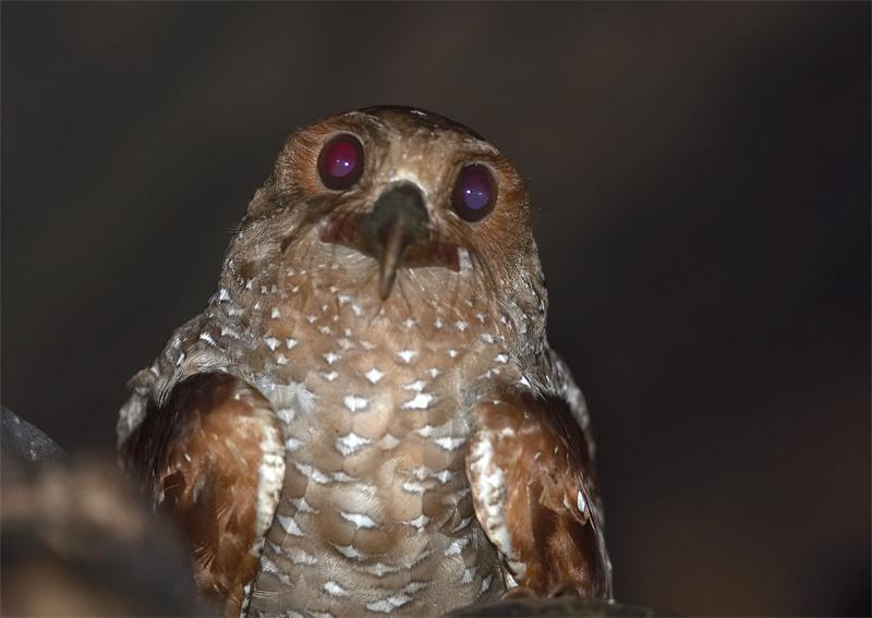 Oilbird.jpg