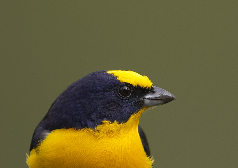 Thick-billed-Euphonia2.jpg
