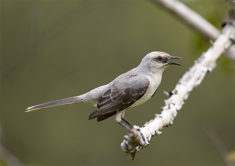 Tropical-Mockingbird.jpg