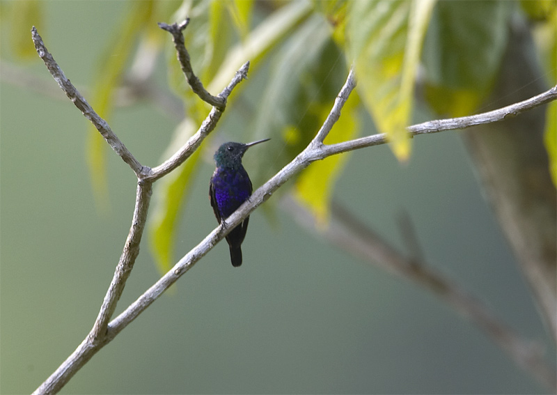 Violet-bellied-Hummingbird.jpg