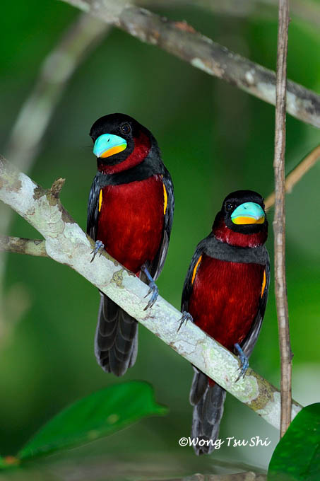 <i>(Cymbirhynchus macrohynchus)</i> <br />Black-and-red Broadbill
