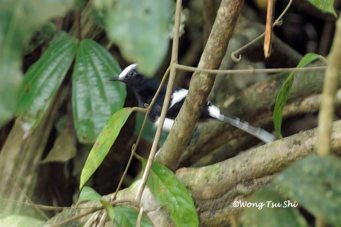 <i>(Enicurus leschenaulti)</i><br /> White-crowned Forktail