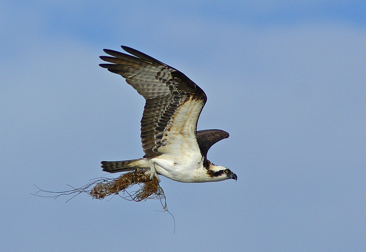 Flight with nest building material