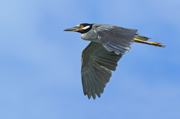 Yellow-crowned flight