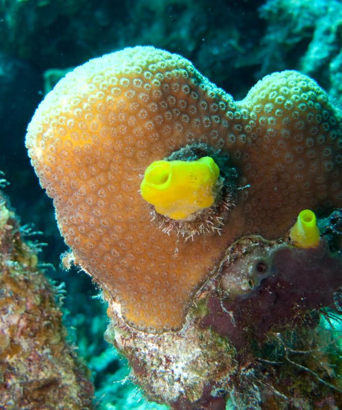 Yellow boring sponge